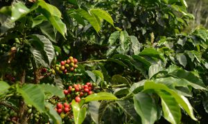 Our coffee plantation